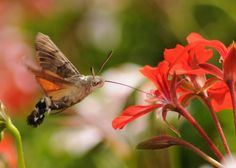 Sphinx Moth (Hummingbird Moth) Usually comes out around dusk.