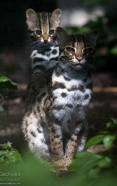 Small Wild Cats, Big Cats, Cats And Kittens, Cute Cats, Beautiful Cats, Animals Beautiful, Cute Animals, Baby Animals, Pumas