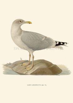 Silver Sea Gull  Seagulls    Coastal home by swanboroughprints, $16.00