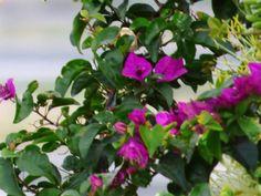 Desde las Islas Canarias  ..Fotografias  : Canary Flowers......Flores......Gran Canaria
