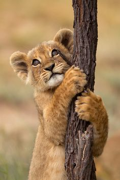 Lion cub clinging on to a tree...