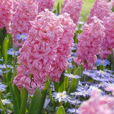 Die rosa Hyazinthe (Hyacinthus orientalis Ibis) und die blaue Anemone blanda feiern gemeinsam ein traumhaft schönes Frühlingsfest. Gepflanzt werden sie im Herbst als Blumenzwiebeln. Online erhältlich bei www.fluwel.de