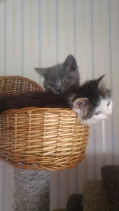 Our British Shorthair Watson and Sherlock a tiny stray we rescued http://ift.tt/2rw4ymJ