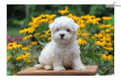Meet Female a cute Maltese puppy for sale for $725. Darling / Maltese