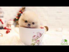 White Pomeranian Puppies, Pomeranian Breed, Teacup Pomeranian, Teacup Puppies, Cute Puppies, Dogs And Puppies, Pomeranians, Chihuahua Puppies, Chihuahua Dogs