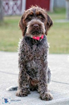 Ludwig ~ Wirehaired Pointing Griffon Pup ~ Classic Look Griffon Dog, Wirehaired Pointing Griffon, German Wirehaired Pointer Puppy, Cute Baby Animals, Animals And Pets, Dog Anxiety, Dog Games, Pet Feeder, Hunting Dogs