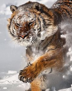 Amur Tiger | Photography by @suhaderbent