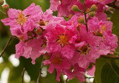 pink flower tree lagerstroemia speciosa   Tree Flowers Lagerstroemia Speciosa Perennials Plants 25
