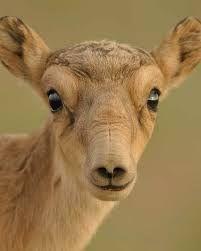 Saiga-Antilopen - Massensterben in die Mongelei