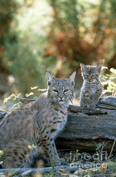 Mama Lynx with her baby...