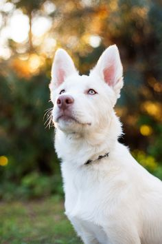 Cosmo, the Siberian husky x border collie pup. Photo by Charlotte Reeves.