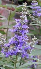 Vitex Agnus Castus - Planta medicinal que atrai beija-flores, abelhas e borboletas. É indivada para tpm.