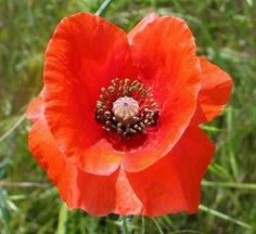 red  poppy single  flower  hillside  red  by paradisereal on Etsy, $25.00