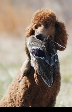 What a REAL and the original retriever looks like. Chocolate Standard Poodle with bird