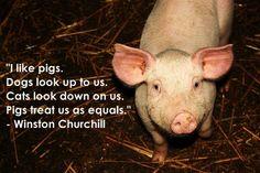 Pigs :)