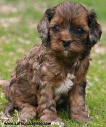 Cute Cockapoos of Wisconsin is your premier breeder of male and female Cockapoo Puppies for Sale in a variety of colors. Samoyed Puppies For Sale, Cute Puppies, Cute Dogs, Dogs And Puppies, Doggies, Baby Puppies, Baby Animals, Cute Animals, Cockapoo Dog
