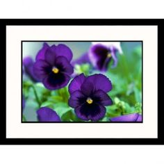 Great American Picture Purple Pansies Framed Photograph - IS115017A