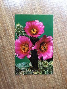 Vintage 50's Postcard - Warty Hedgehog Cactus in Bloom Echinocereus Enneacanthus by ElkHugsVintage on Etsy