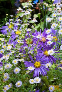 Two different kinds of asters (Bloom in  autumn/fall)