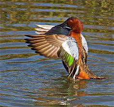 cinnamon teal duck | cinnamon teal duck 10 48