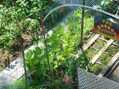 """July 19: We've been gathering a few green beans here and there - just enough for a side dish on 2 occasions. But there are thousands coming! We were given """"bush"""" type of plants, not what I wanted in this spot. But I'll remember to use the """"climbing"""" variety next year."""