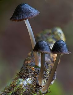 Nargans Bonnet. Mycena nivalis. Mt Worth State Park, Victoria, steve axford photography