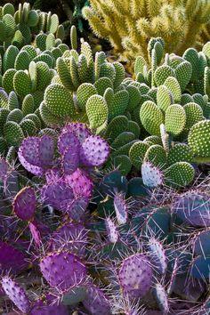 Cactus Garden at the Desert Botanical Gardens, Phoenix - Valerie Millett