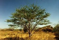 Acacia is a genus of shrubs and trees belonging to the subfamily Mimosoideae of the family Fabaceae. A tree growing up to with yellow papery bark and spikes of white fragrant flowers in the winter. Types Of Humans, African Tree, Gum Arabic, Tree Seeds, Growing Tree, Medicinal Plants, Planting Seeds, Acacia, Trees To Plant