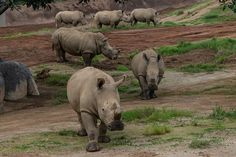 Herd of beautiful rhinos