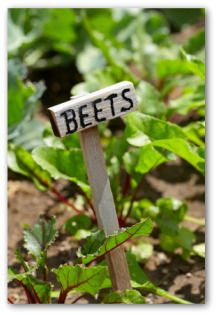 How to Grow Beets, Planting Beets, Growing Beets in Your Vegetable Garden