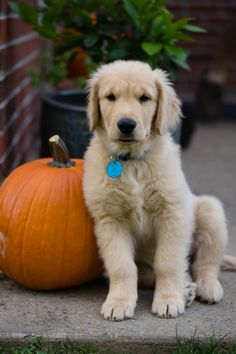 Golden puppies just melt my heart