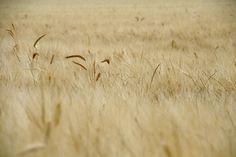 trigo, plantación, campo, prado, espigas, cereales, 1703051058