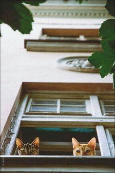 crescentmoon animalia Pretty Cats, Cute Cats, Funny Cats, Crazy Cat Lady, Crazy Cats, Animals And Pets, Cute Animals, Cat Window, Open Window