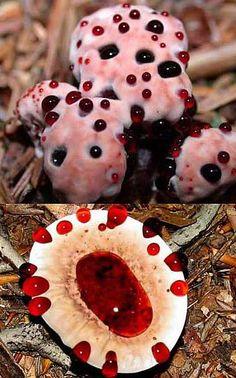 mushrooms - bleeding-tooth-fungus          So strange!!!  ...MKL...