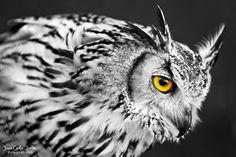 Búho de Bengala (Owl Bengal) by Juan Carlos Simón, via 500px