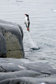 """A Gentoo Penguin: """"Springing From The Water!"""" (Photo By: Christine Richardson.)"""