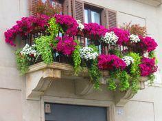 Petunias et menthe indienne fleurissent abondemment les balcons et rebords de fenêtre.