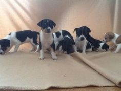 rat terrier puppies michigan