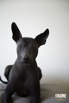 CO Mexican hairless dog, Akame, black, dog photography, xoloitzcuintle.a hairless dog? Animals And Pets, Baby Animals, Cute Animals, Dog Photos, Dog Pictures, Mexican Hairless Dog, Inka, Oragami, Pitbulls