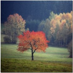 The Red Tree. Beautiful, all alone.