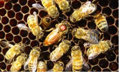 A new long-term honey bee health study finds that a mysterious disease the authors term idiopathic brood disease syndrome, IBDS, which kills off bee larvae, is the largest predictor of colony death. Researchers see IBDS-like symptoms associated with viruses spread by parasitic mites, says coauthor entomologist, David Tarpy. But a high percentage of larvae deaths appears in colonies with few mites, suggesting IBDS occurs even with low mite loads: not what we expected.""