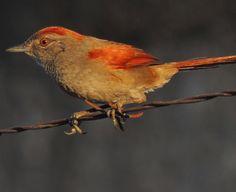 Foto petrim (Synallaxis frontalis) por Carlos H.de Souza | Wiki Aves - A Enciclopédia das Aves do Brasil