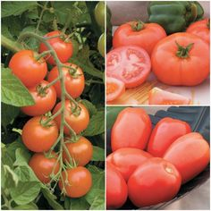A collection of 3 varieties that have very good resistance to late blight. Contains 3 pkgs, one each of Mountain Magic (Cherry), Defiant (Beefsteak) and Plum Regal (Paste) Tomatoes. Mountain Magic: This large cherry tomato has exceptional sweet Tomato Seeds, Bulb Flowers, Beef Steak, Red Interiors, Grow Your Own, Cherry Tomatoes, Backyard, Popular Pins, Vegetables
