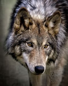 Young Wolf by Wes and Dotty Weber - Young Wolf Photograph – Young Wolf by Wes and Dotty Weber - Wolf Images, Wolf Photos, Wolf Pictures, Beautiful Wolves, Animals Beautiful, Cute Animals, Tier Wolf, Wolf Spirit Animal, Wolf Photography
