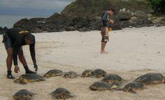 """J., 18 SEP 2014   DESCUBRIMIENTOS CIENTIFICOS - PANAMA - """"Científicos descubren la densidad más alta de tortuga carey en el Pacífico""""."""