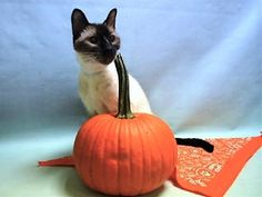 MERCY - 10808 - - Manhattan  ***TO BE DESTROYED 10/28/17***  BEGINNER RATED SWEET AND AFFECTIONATE MERCY WANTS TO BE YOUR NEW BEST FRIEND!! BUT SHE NEEDS FOLLOW UP MEDICAL!  10 year old MERCY was dumped at the shelter rather than taken to a vet.  Her owner claims he had her for 7 years and now is sick, vomiting and has blood in her stool.  Yet rather than seeking vet care, now poor Mercy is at the mercy of the kill shelter.  she sits in her kennel and meows constantly &#821