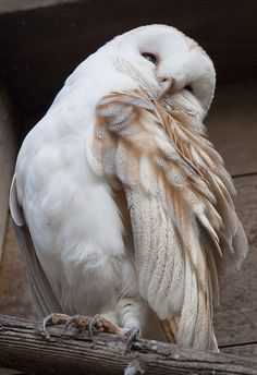 Shuttleworth Birds of Prey-1438 by ElmerFud [barn owl]