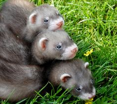 Learn How to Take Care of a Ferret Before You Get One!