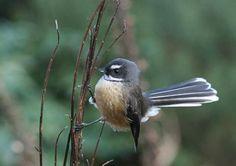 Fantail | Piriwaka | NZ Birds, Nature, Animals, Animales, Naturaleza, Animaux, Bird, Animal, Outdoors