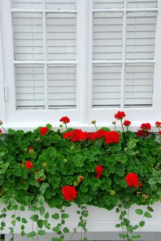 red geraniums window box all around the house would be lovely.